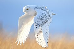 Gorgeous photo of a snowy owl. Photograph of Prey From Pin Board Beautiful Owl, Animals Beautiful, Cute Animals, Wild Animals, Owl Bird, Pet Birds, Bird Wings, Tier Fotos, Mundo Animal