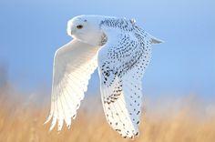 {Snowy Owl, cross light}