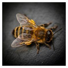 Sendlinger Schwarm: Pollen - bee close up