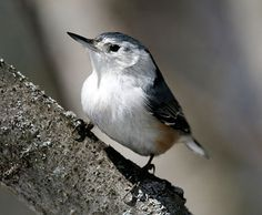 White-breasted Nuthatches may be small but their voices are loud, and often their insistent nasal yammering will lead you right to them.