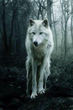 Loup Blanc <3 ***