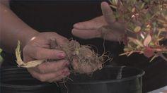 Video: How to Plant Dahlia Bulbs