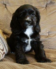 Black Cocker Spaniel Puppies, Perro Cocker Spaniel, Spaniel Puppies For Sale, Cockapoo Puppies, American Cocker Spaniel, Cute Puppies, Cute Dogs, Dogs And Puppies, Doggies