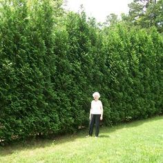 Quickly screen out neighbors or unsightly areas without taking up a lot of yard space, and get our Thuja Green Giant Evergreen Trees! Arborvitae Landscaping, Privacy Landscaping, Arborvitae Tree, Landscaping Ideas, Farmhouse Landscaping, Garden Landscaping, Privacy Trees, Privacy Plants, Fence Plants