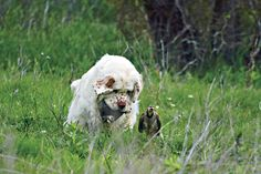 Ever heard of the Clumber Spaniel? Want to check this breed out? Read this post and see if the Clumber Spaniel is the dog for you. Clumber Spaniel, Spaniel Dog, Spaniels, Us Vets, Vet Clinics, Hunting Dogs, Dog Love, Dog Breeds, Dogs And Puppies