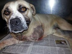 **Adopted by a man missing an arm as well!!!!***Second Chance Rescue NYC  Teddy needs a home ASAP