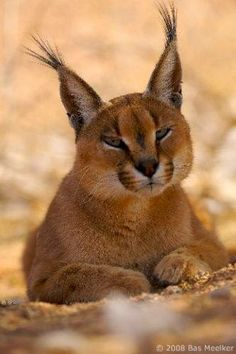 Caracal o Lince. The Animals, Nature Animals, Caracal Caracal, Serval, Baby Caracal, Big Cats, Cool Cats, Cats And Kittens, Beautiful Cats