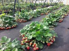 Как правильно посадить клубнику, чтобы получить хороший урожай? Предлагаю вам четыре эффективных способа посадки клубники, давно зарекомендовавших себя среди садоводов-огородников. Посадка клубни…