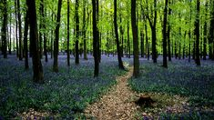 Ashridge Park, Hertfordshire, UK | National Trust Woodlands carpeted with English Bluebells in Spring (4 of 5) by ukgardenphotos, via Flickr