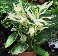 Full size picture of Arrowroot, Obedience Plant 'Variegata' (<i>Maranta arundinacea</i>)