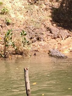Daintree Croc spotting