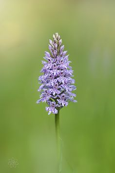 Common Spotted Orchid by Jacky Parker on 500px