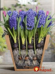 Garten When the bulbs selected for the lasagna method bloom in succession, a mini garden in a pot br Spring Plants, Spring Bulbs, Spring Garden, Spring Flowers, Planting Bulbs In Spring, Winter Garden, Container Flowers, Container Plants, Container Gardening