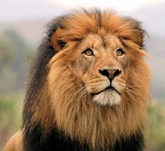 Beautiful picture of this lion.