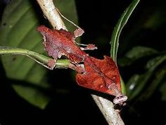 The dead leaf mantis mimics dead leaves. It was taken in the rainforest of Borneo.