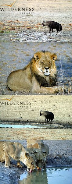 We are Wilderness - Lately we have been enjoying some outstanding brown hyaena sightings close to camp. The Kalahari Pride of lions has also stepped up, providing us with some incredible sightings, especially the Lekhubu Male, who is fast approaching the status of a legendary Kalahari black-maned lion. Click on the image for the full gallery Lion Pride, Conservation, Lions, Panther, Wilderness, Safari, Tourism, The Incredibles, Posters