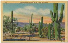 Arizona Giant Saguaros and road on the desert Vintage Postcard Linen