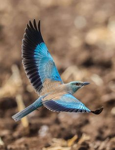 Blue Brown, Bird, Animals, Animales, Animaux, Birds, Animal, Animais