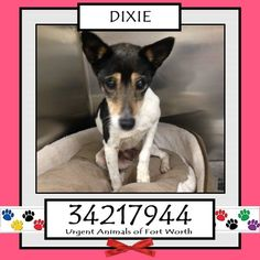 \r\n**Fort Worth, TX - Current Status: IMMEDIATE RESCUE NEEDED\r\n\r\nReason for URGENT: Senior\r\n\r\nAnimal ID: 34217944\r\n Name: Dixie\r\n Breed: Rat Terrier mix\r\n Sex: Female\r\n Age: 13 years\r\n Weight: 15 lbs\r\n Spayed\r\n Heartworm Negative\r\n\r\n*Owner surrender - cannot afford\r\n\r\nPersonality\r\n 12\/28: Dixie is a sweet old lady. - Ginger\r\n