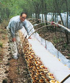 Ganoderma Lucidum Spore - the cultivating process