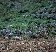 Ceanothus maritimus 'Point Sierra' 1 flower, form
