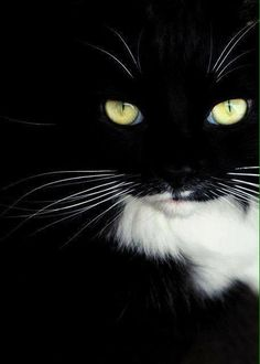 Love black and white cats Pretty Cats, Beautiful Cats, Animals Beautiful, Pretty Kitty, Lovely Eyes, Crazy Cat Lady, Crazy Cats, Cool Cats, Animals And Pets