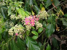 """Banisteriopsis caapi, also known as ayahuasca, caapi or yajé, is a South American jungle vine of the family Malpighiaceae. It is used to prepare ayahuasca, a decoction with a long history of entheogenic uses as a medicine and """"plant teacher"""" among the indigenous peoples of the Amazon Rainforest."""