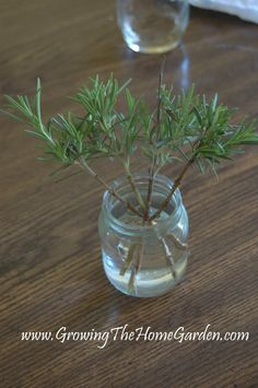 Growing The Home Garden: Propagating Rosemary in Water (The Herbs)