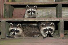 Three raccoons hiding under the steps. Akron, Ohio (Nikon D300 using the 16-85 zoom - 1/60th sec at f8). Photo by Dick Pratt.