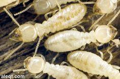 اقضي علي النمل الابيض مع شركة المنزل شركة مكافحة النمل الابيض بالمدينة المنورة  باحدث طرق التخلص من الحشرات و افضل فريق عمل يعمل علي رش اقوي المبيدات المستوردة للقضاء التام علي الحشرات