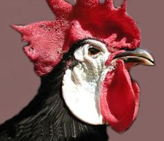 White-Faced Black Spanish pictures, video, information and chicks.