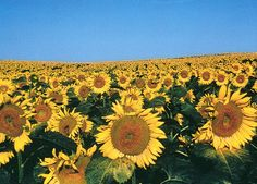 """Demand for sunflower products such as oil and lecithin is booming as food manufacturers and restaurants look for non-GMO alternatives to GMO-risk soybean and canola oil."" - The Organic & Non-GMO Report http://www.non-gmoreport.com/articles/july-2014/assured-non-gmo-status-creates-demand-for-sunflower-oil-lecithin.php"