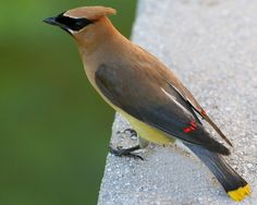 Cedar Waxwing - Saw two of these in my serviceberry tree this week.  So pretty!