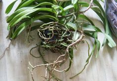 Vanda Orchid Propagation: Tips On Dividing Vanda Orchids -  Aerial Vanda orchid roots make Vanda orchid propagation a very doable task. If you'd like to know how to propagate Vanda orchids, then this article should help. Simply click here for more information on propagating these orchid plants.
