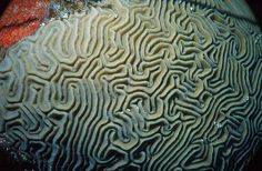 Google Image Result for http://www.reefnews.com/reefnews/photos/corals/brain1.jpg
