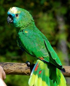 Blue Fronted Amazon vs. Yellow Crowned Amazon (parrot, feather, moving) - Birds - City-Data Forum