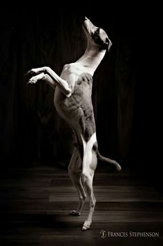 Whippet standing on hind legs. Perro Whippet, Anatomy Reference, Italian Greyhound, Best Artist, Dog Breeds, Whippets, Greyhounds, Poses, Statue