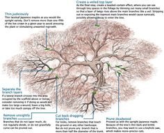 how to trim dwarf japanese maple trees types | Pruning Japanese Maples - Fine Gardening Article