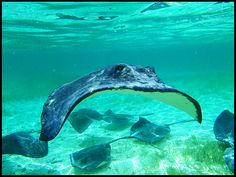 Caribean ray, Caye Caulker island, Belize. | Flickr - Photo Sharing!
