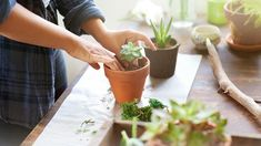How to plant a mini succulent garden: You'll need: A selection of succulents, a wide bowl with a lip, fine gravel, potting soil, a paintbrush and a spray water bottle. Propagating Succulents, Planting Succulents, Suculentas Interior, Senior Citizen Activities, Decoration Plante, Cactus Y Suculentas, Potting Soil, Organic Vegetables, Vegetable Garden