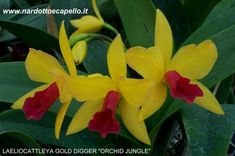 LAELIOCATTLEYA GOLD DIGGER ORCHID JUNGLE
