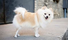 Pomeranians are suited to many types of homes because they are so compact and affectionate. Learn all about Pomeranian breeders, adoption health, grooming, training, and more. Small Fluffy Dog Breeds, Cute Dogs Breeds, Fluffy Dogs, Service Dogs Breeds, Dog Breed Info, Pom Dog, Pomeranian Puppy, Pomeranian Breeders, White Pomeranian