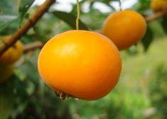 Uvaia - Benefícios dessa planta exótica que emagrece