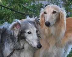 Viper (left) with his son Smartypants  #Silkenwindhounds