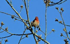 House Finch Poster featuring the photograph House Finch Male by Cynthia Guinn