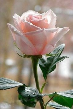 best hybrid tea roses for cutting My Flower, Pretty Flowers, Pink Flowers, Rosa Rose, Hybrid Tea Roses, Flower Wallpaper, Beautiful Roses, Red Roses, Planting Flowers