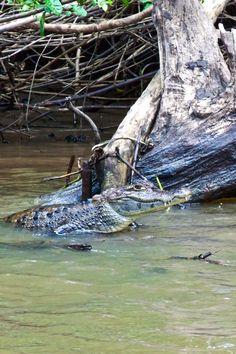 Krokodile sind in gesamt Mittelamerika und in weiten Teilen Südamerikas beheimatet. Dieses Exemplar macht es sich in Costa Rica gemütlich.