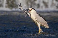 Black--crowned_Night--Heron-Bihoreau_gris-Nycticorax_nycticoraxA44K1936.jpg 1.150×767 Pixel