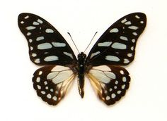 GREEN VEINED SWALLOWTAIL BUTTERFLY Graphium leonides A- SET TS x1 M Insect in Collectables, Animals, Insects/ Butterflies | eBay