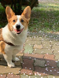 Particulièrement intelligents, ils peuvent se montrer très réceptifs si les méthodes utilisées sont cohérentes, à la fois fermes et douces, et surtout respectueuses des principes de l'éducation positive.  #Welsh_Corgi_Pembroke #Caniprof #Chien Cutest Small Dog Breeds, Top 10 Dog Breeds, Cute Dogs Breeds, Small Breed, Small Dogs For Kids, Cute Small Dogs, Cut Animals, Animals And Pets, Welsh Corgi Pembroke